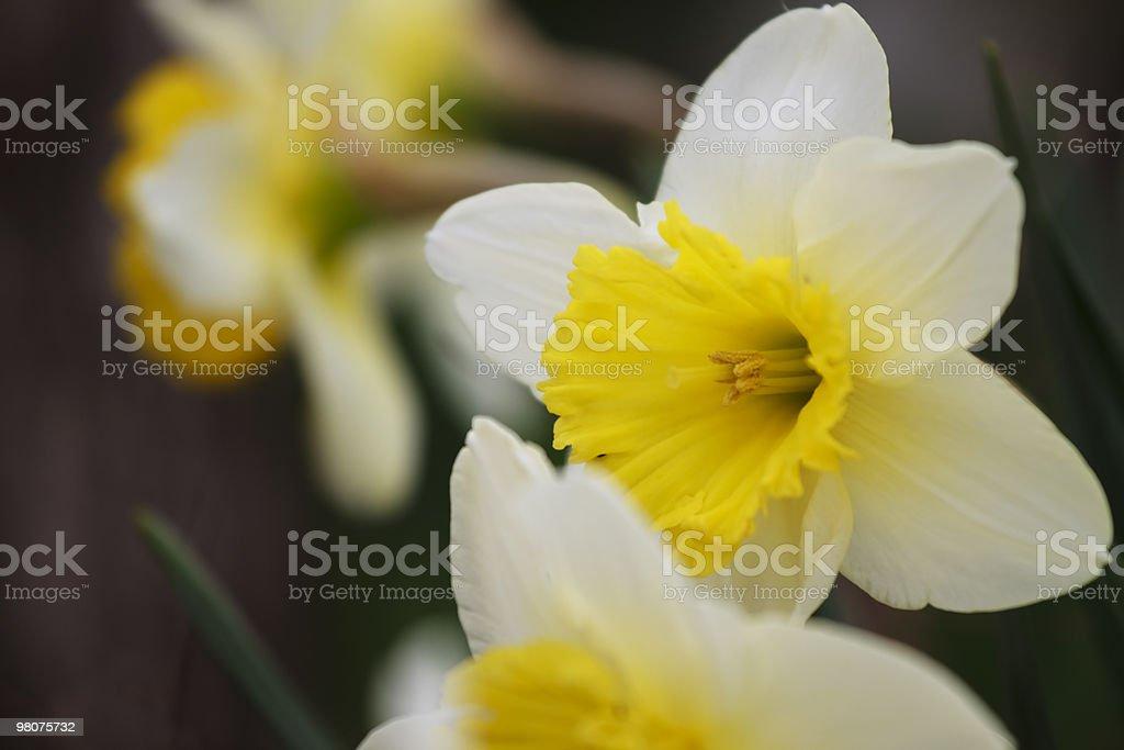 Daffodil Close-Up XL royalty-free stock photo