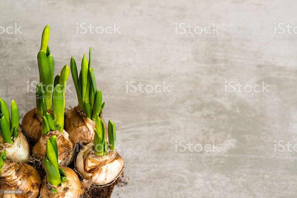 Daffodil flower bulbs stock photo