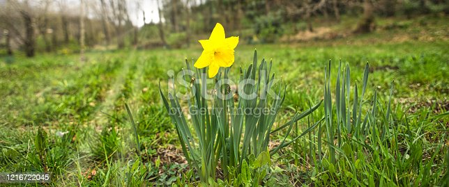 643781968 istock photo daffodil flower in the meadow in spring sunbeams on the horizon 1216722045