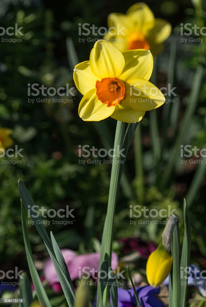 daffodil flower stock photo