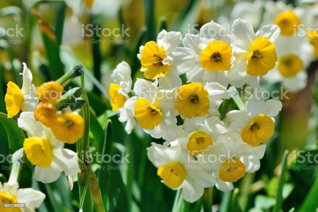 Nergis çiçek - Royalty-free Ağaç Çiçeği Stok görsel