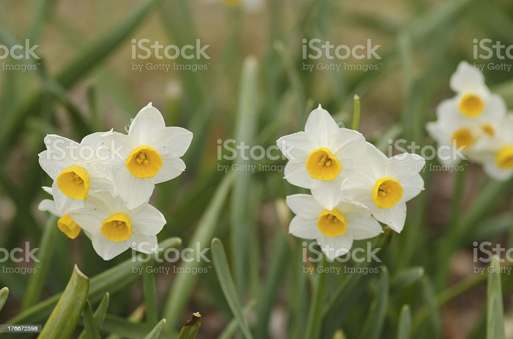 Daffodil flowers royalty-free stock photo