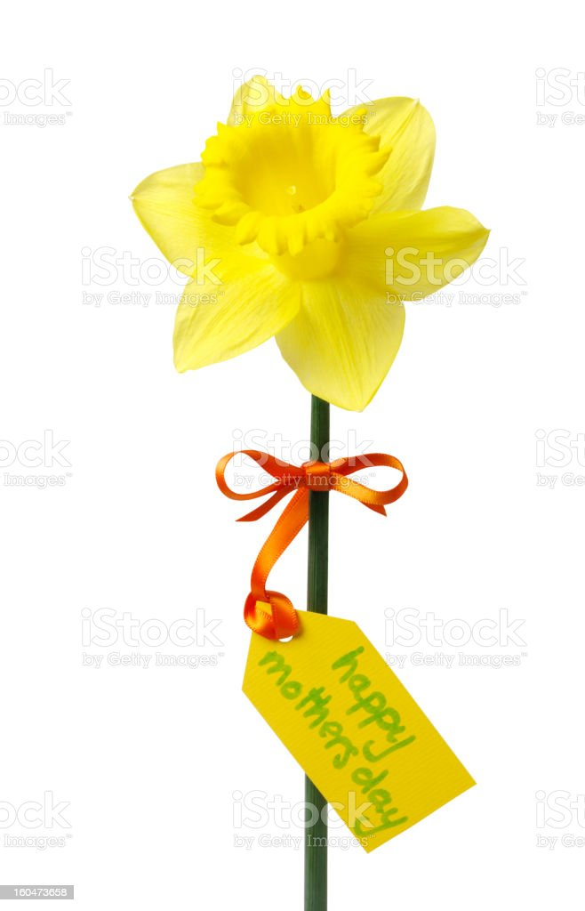 Daffodil for a Special Mum on Mother's Day royalty-free stock photo