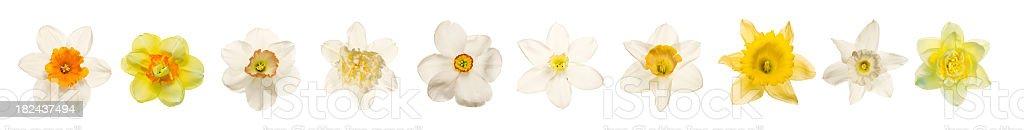 Daffodil Frame isolated on white (XXXL) royalty-free stock photo