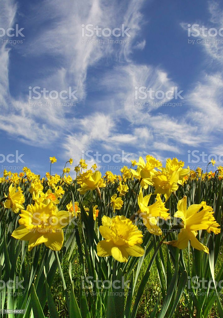Daffodil Hill royalty-free stock photo
