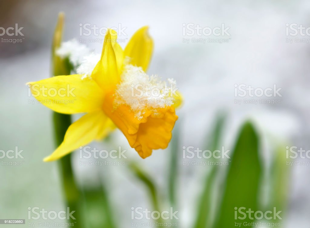 daffodil in a garden covered with snow stock photo