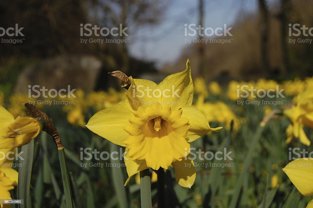 Daffodil in a springtime royalty-free stock photo