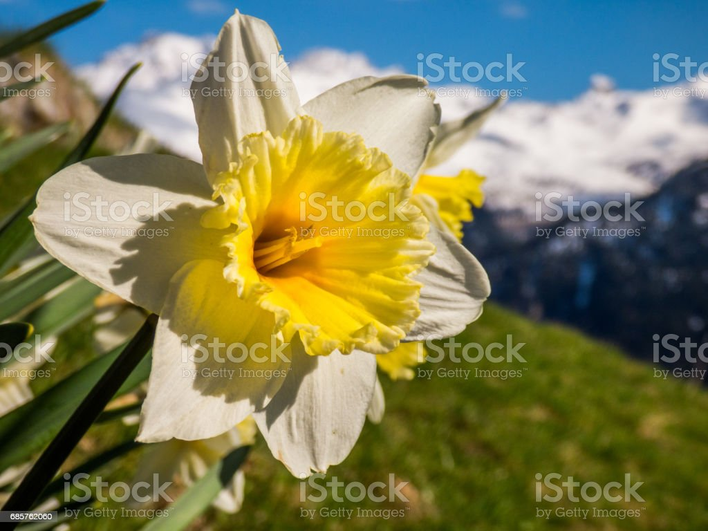 Daffodil in alps mountains foto stock royalty-free