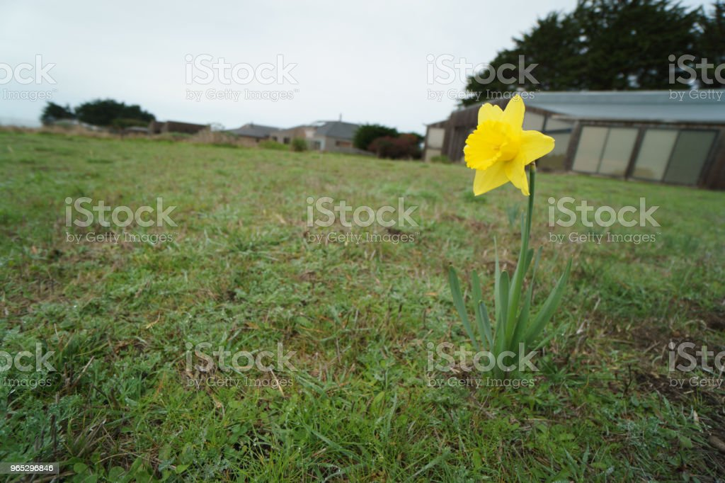 daffodil in front yard royalty-free stock photo