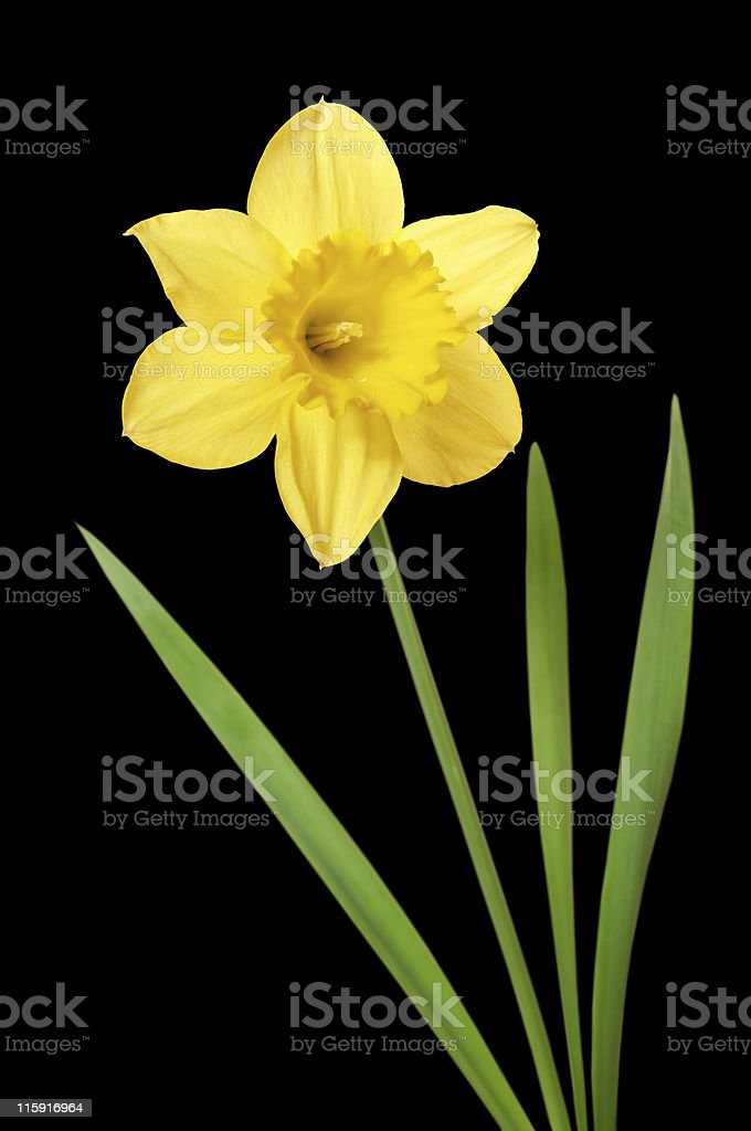 Daffodil isolated on black stock photo