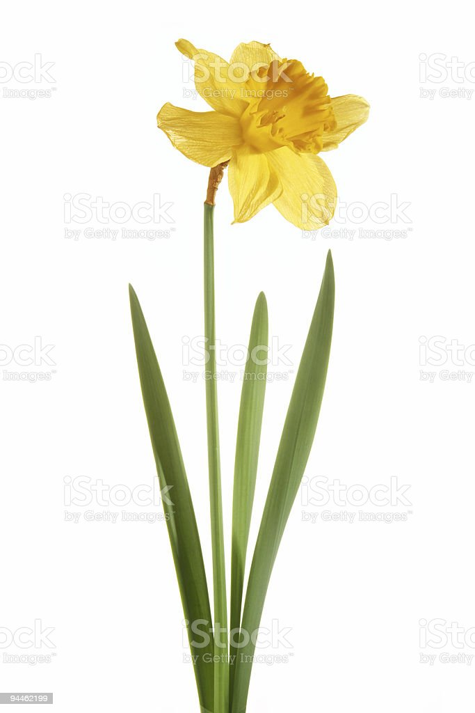 Daffodil isolated on white background stock photo