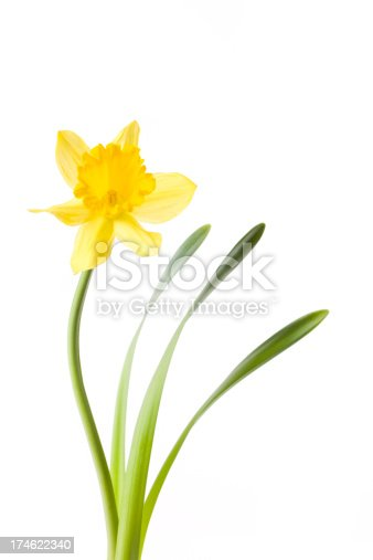 A beautiful daffodil isolated on white background