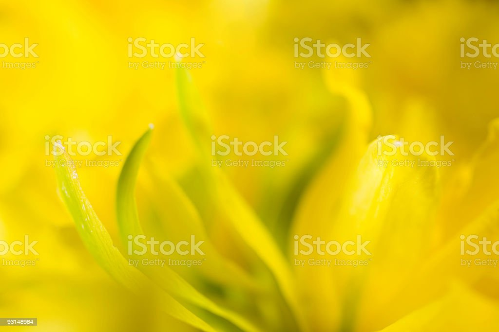 Daffodil Macro royalty-free stock photo