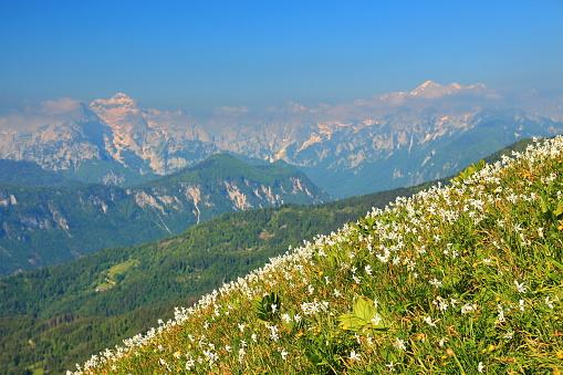 Daffodil mountain in Slovenia