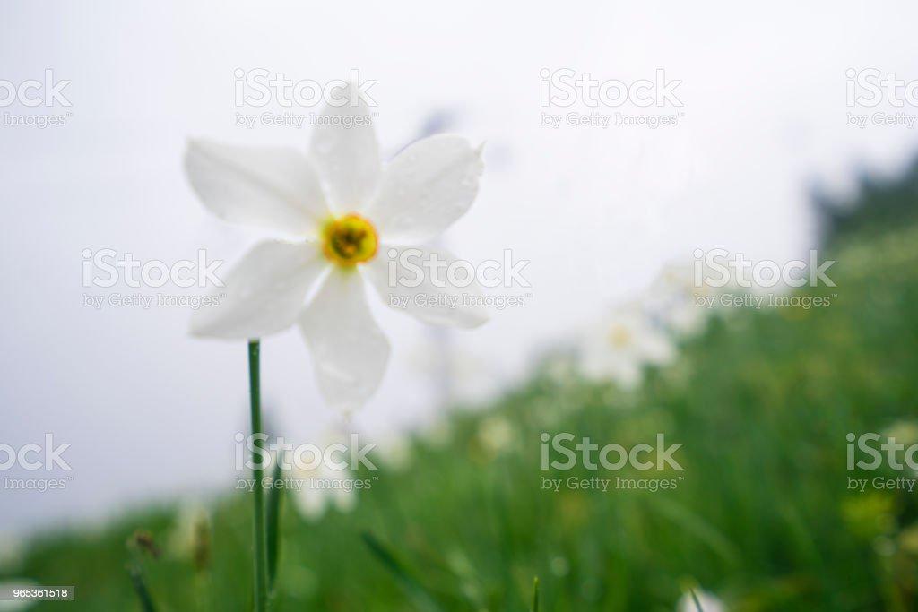 Daffodil narcissus flowers flowerbed on rainy day at Spanov vrh, Slovenia zbiór zdjęć royalty-free