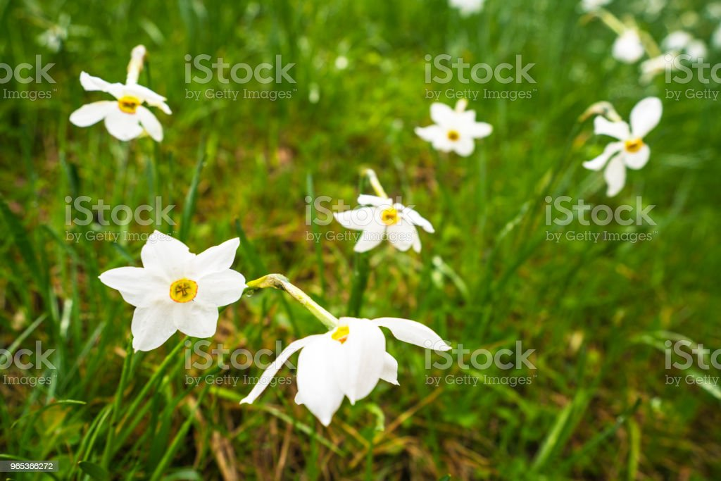 Daffodil narcissus flowers flowerbed on rainy day at Spanov vrh, Slovenia royalty-free stock photo
