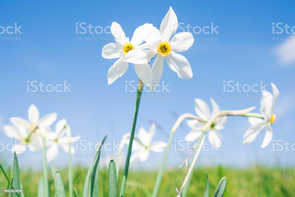 Daffodil narcissus flowers flowerbed with blue sky in background, Golic in Istria, Slovenia - Zbiór zdjęć royalty-free (Bez ludzi)