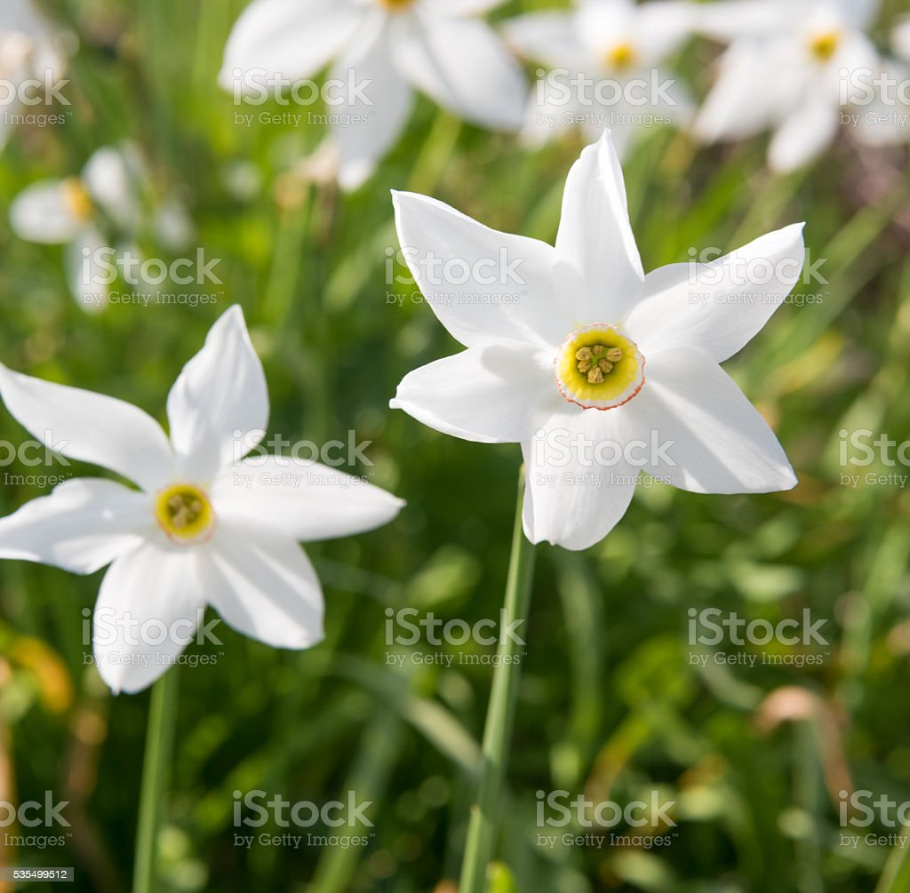 Daffodil - Narcissus, Lent Lily stock photo