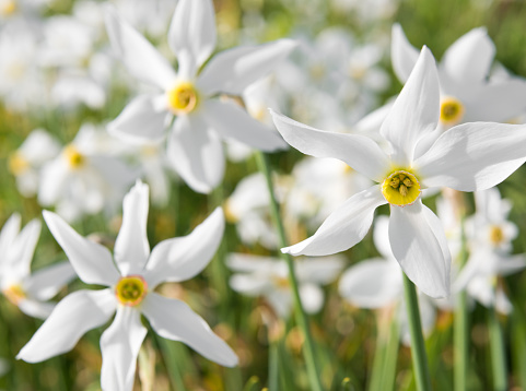 Daffodil - Narcissus, Lent Lily