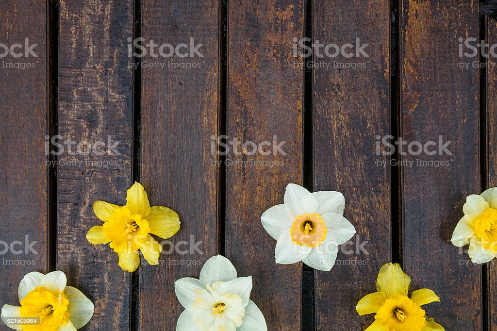 Daffodil on dark wooden background. Yellow and white narcissus Lizenzfreies stock-foto