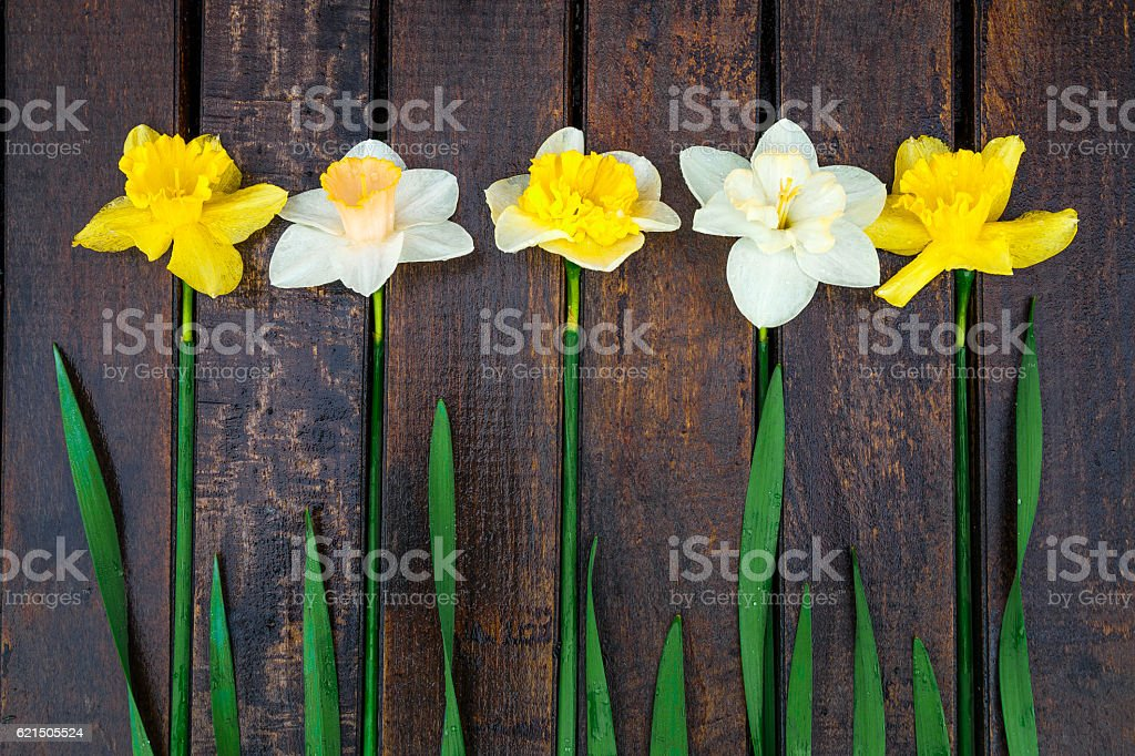 Daffodil on dark wooden background. Yellow and white narcissus foto stock royalty-free
