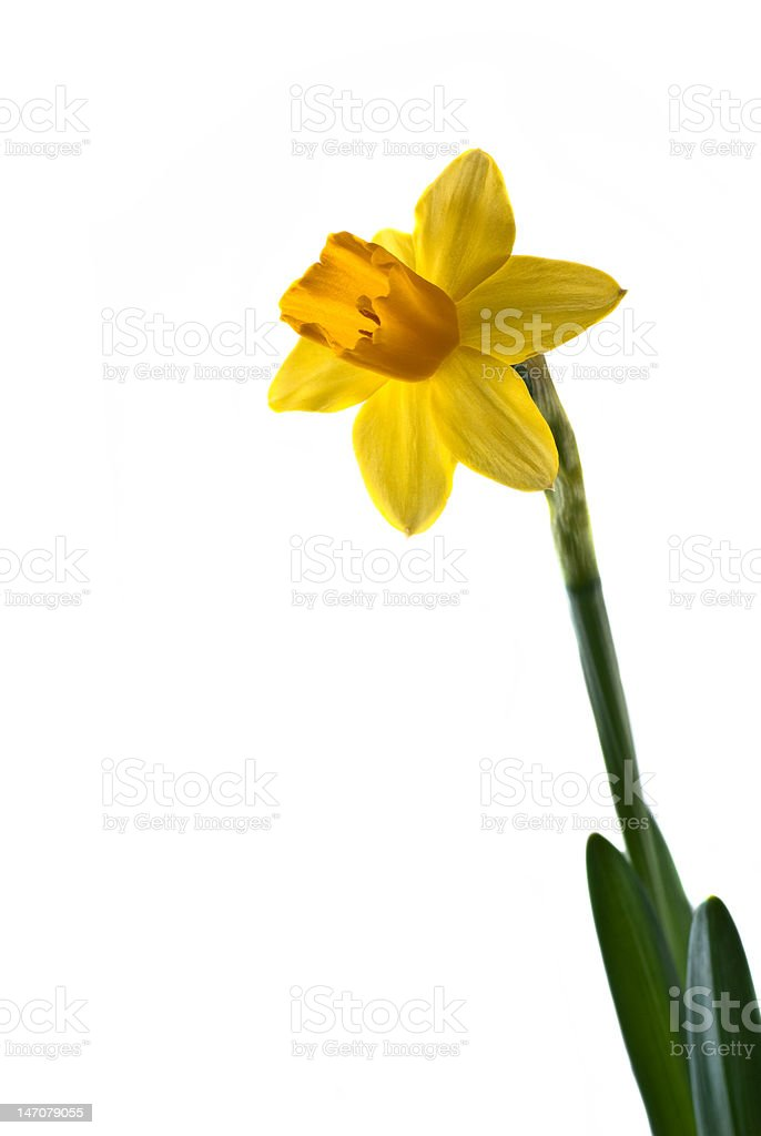 Daffodil on white background royalty-free stock photo