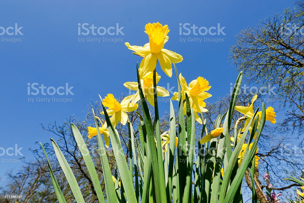 Daffodil Perspectives stock photo