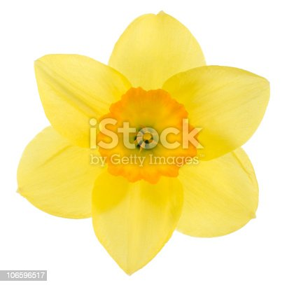 Studio Shot of Yellow and Orange Colored Daffodil Isolated on White Background. Large Depth of Field (DOF). Macro. Symbol of Self-love and Respect.