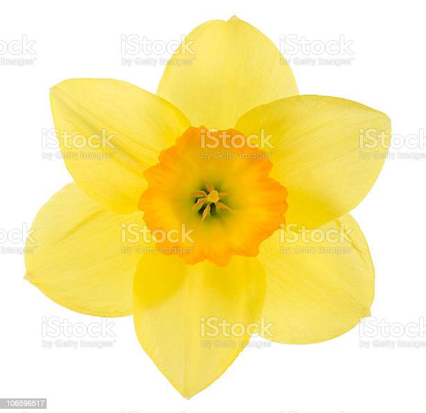 Daffodil picture id106596517?b=1&k=6&m=106596517&s=612x612&h=44gxl b0rhtmjis9esk2u1reb6vmi ugprocdl07yei=