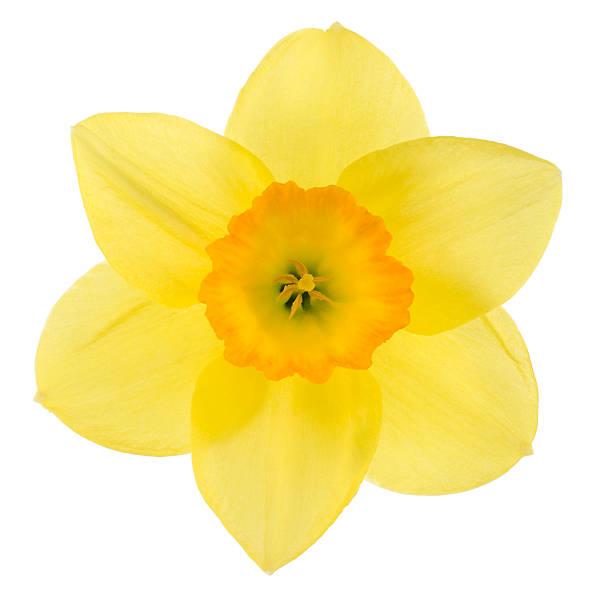 대포딜 - 관상용 식물 뉴스 사진 이미지