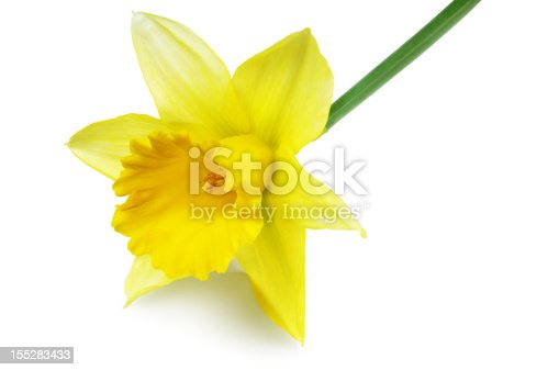 Single daffodil flower isolated on white.