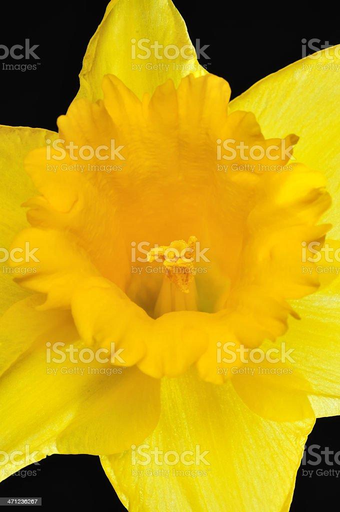 Daffodil royalty-free stock photo