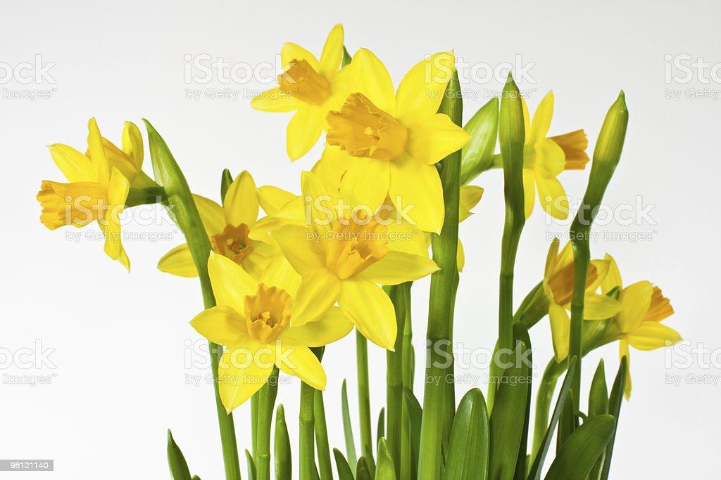 Narciso foto stock royalty-free