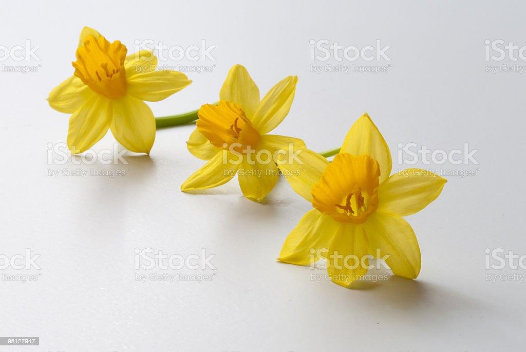 Narciso (Narcis foto stock royalty-free