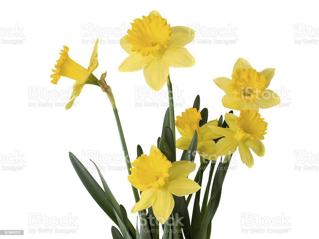 Daffodil plant royalty-free stock photo
