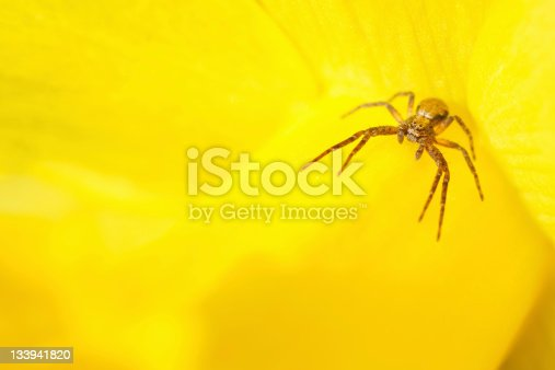A spider lies in wait on a daffodil.http://www.thomson92.plus.com/spiders.jpg