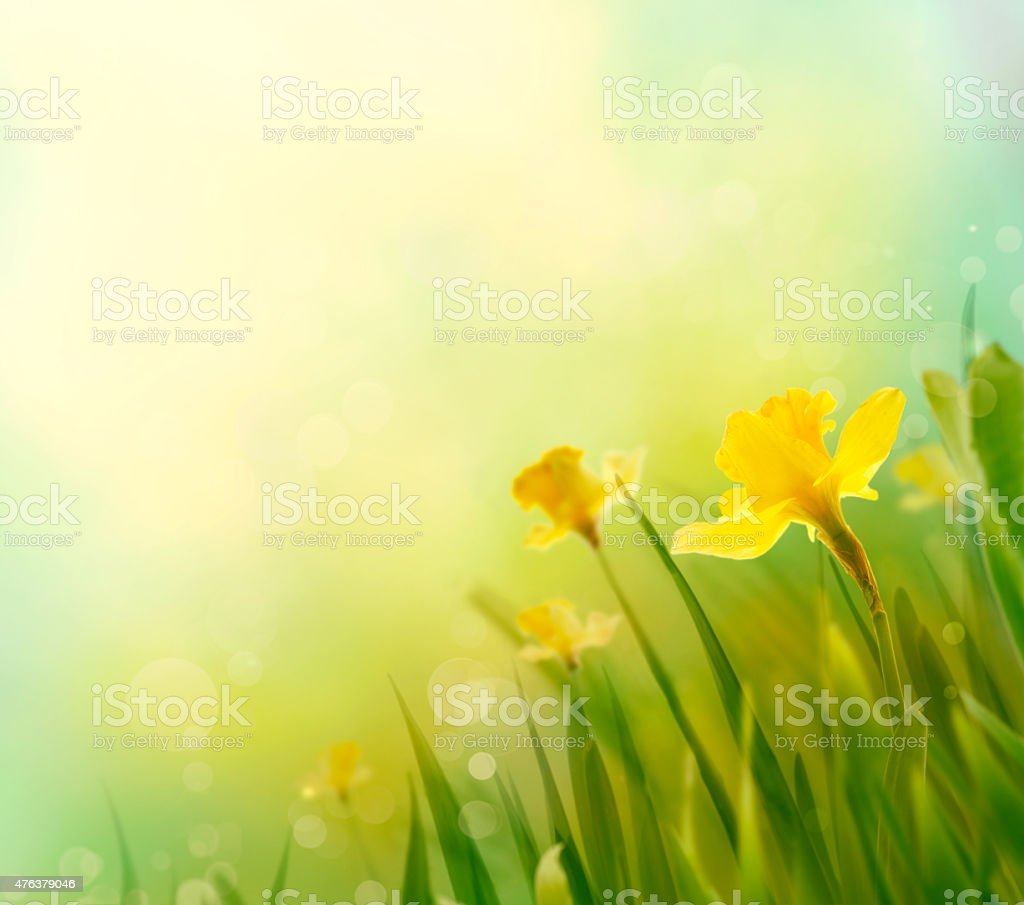 Daffodil spring background stock photo