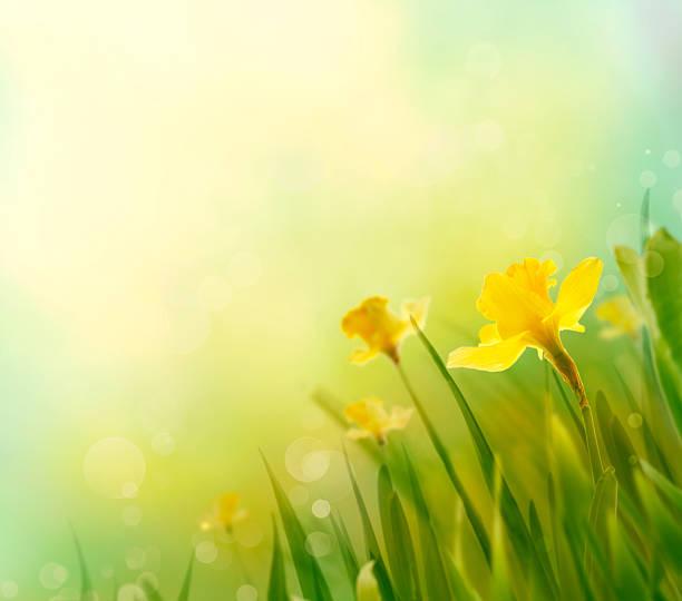 Jonquille fond de printemps - Photo