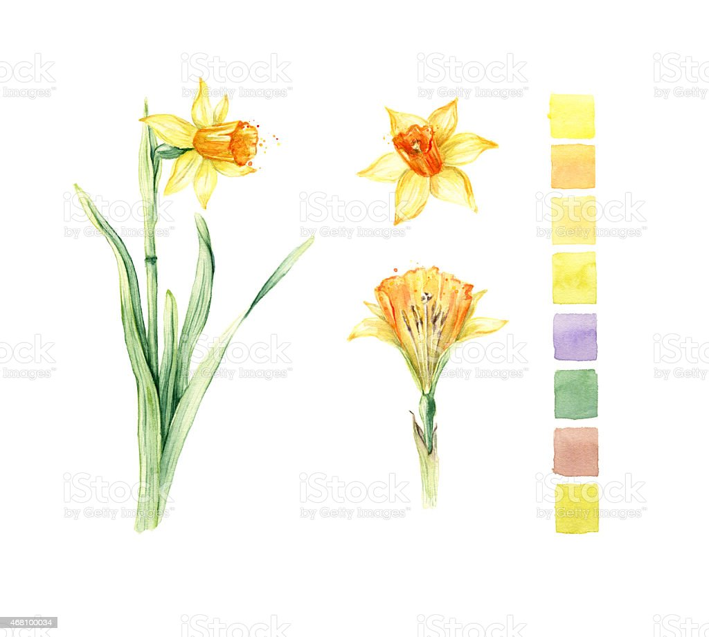 daffodil spring flowers or narcissus botanical illustration stock