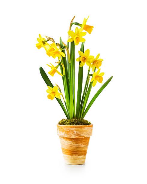 Daffodil spring flowers picture id472716322?b=1&k=6&m=472716322&s=612x612&w=0&h=fj7uxndru9xkyehhyp7ywmcbfz sd70qlxpkavnjfxy=