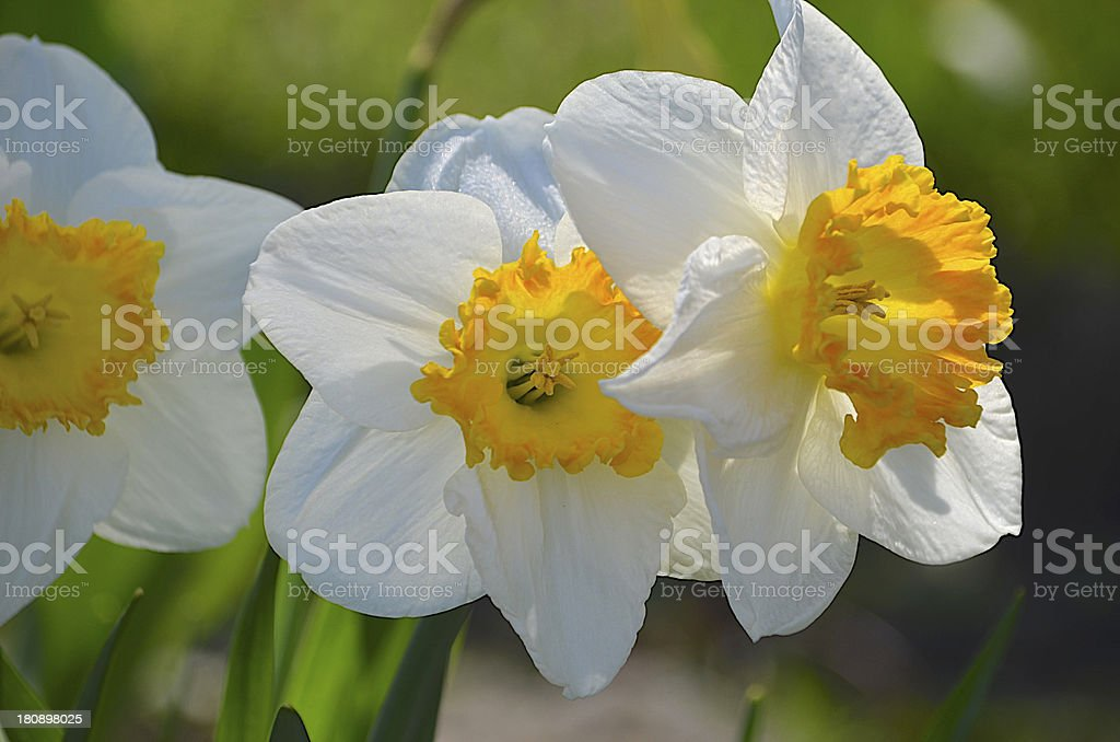 Daffodil Trio royalty-free stock photo