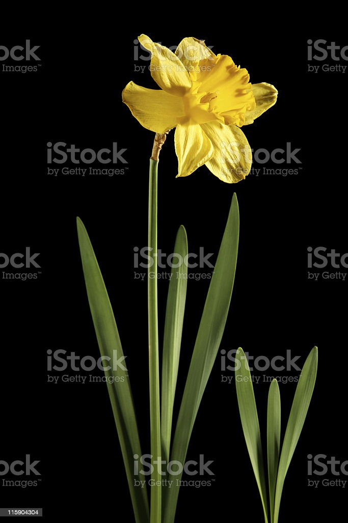 Daffodil with black background stock photo