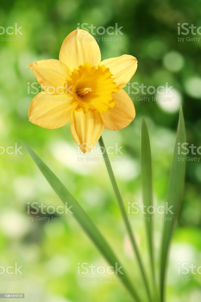 Daffodil with green background stock photo