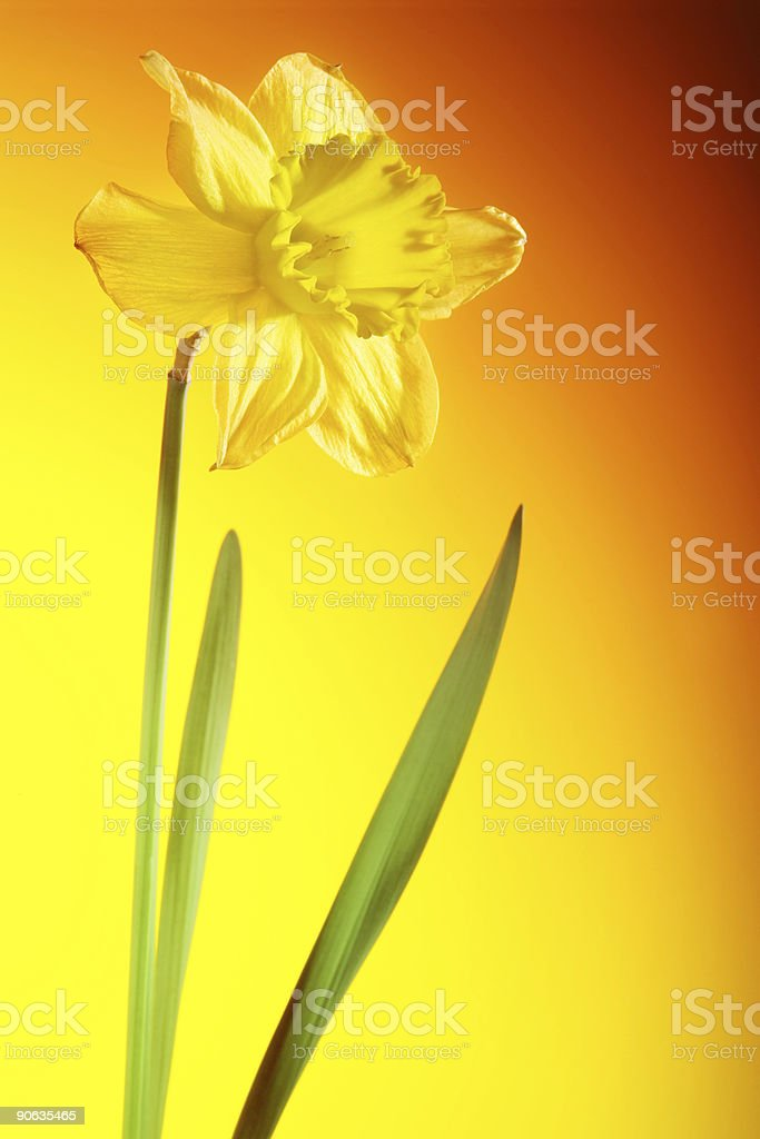 Daffodil with orange background stock photo