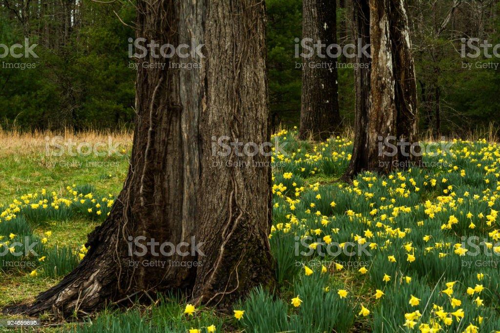 Daffodils at Cades Cove stock photo