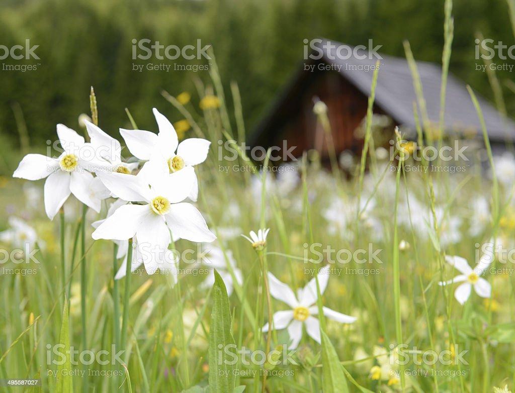 Daffodils, Austrian Alps stock photo