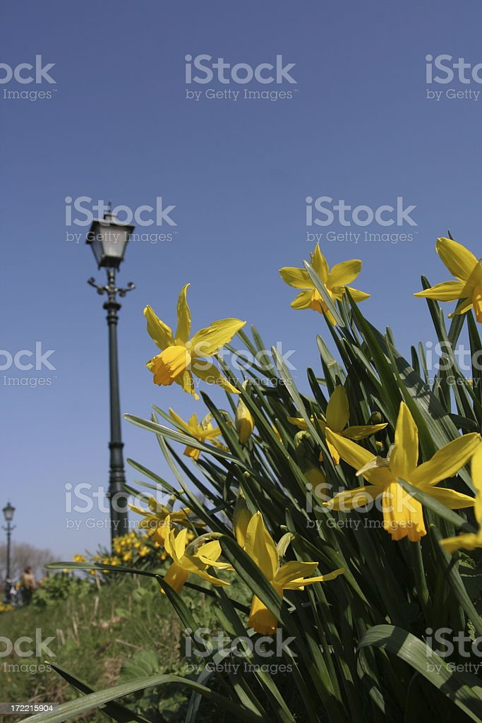 Daffodils beside a cycle path royalty-free stock photo