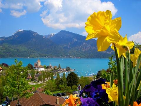 Daffodils bloom above Lake Thun Swiss Alps near Interlaken Switzerland