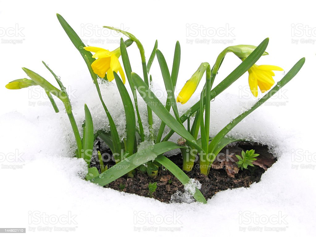 Daffodils blooming through the snow stock photo