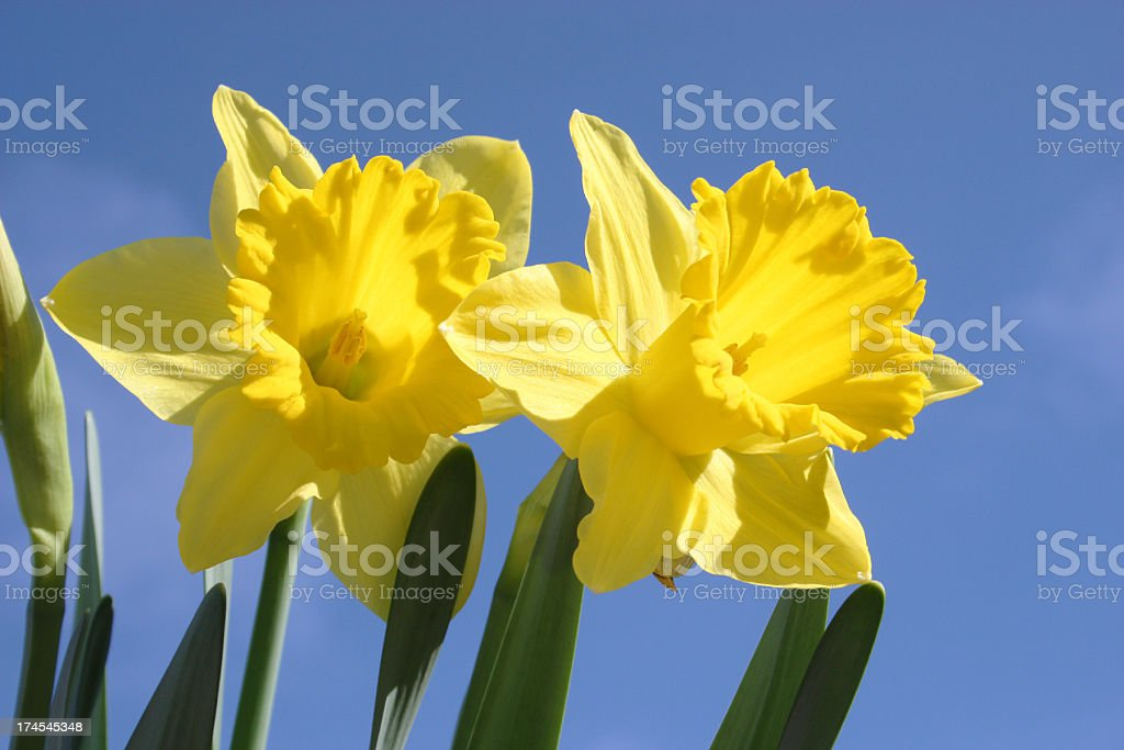 Daffodils & Blue Sky royalty-free stock photo